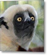 Coquerel's Sifaka Lemur Metal Print