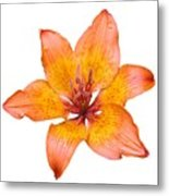 Coral Colored Lily Isolated On White Metal Print