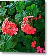 Coral Geraniums At Pilgrim Place In Claremont-california   Metal Print