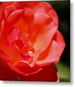 Coral Rose Focus Left Metal Print