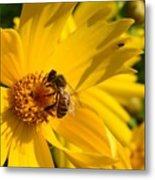 Coreopsis Beauty And The  Bee. Metal Print