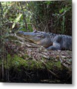 Corkscrew Swamp - Really Big Alligator Metal Print