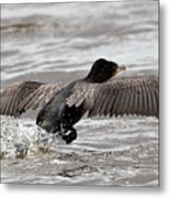 Cormorant Taking To The Air Metal Print