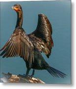 Cormorant Wings Metal Print