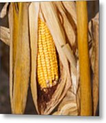 Corn Cobb On Stalk Metal Print