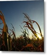 Corn Field In Sunset Metal Print