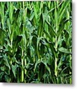 Corn Field's First Row Metal Print
