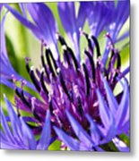 Corn Flower 3 Metal Print