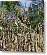 Corn Stalks Drying Metal Print