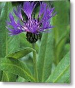 Cornflower Purple Surprise V1 Metal Print