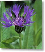 Cornflower Purple Surprise V2 Metal Print