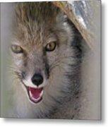 Corsac Fox- Vulpes Corsac 01 Metal Print