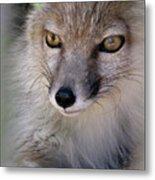 Corsac Fox- Vulpes Corsac 03 Metal Print