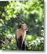 Costa Rica Capuchin Monkey Metal Print