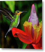 Costa Rican Hummingbird Metal Print