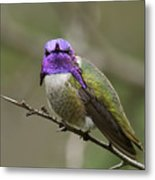 Costa's Hummingbird, Solano County California Metal Print