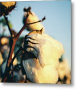 Cotton Field 13 Metal Print