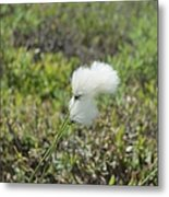 Cotton Grass -eriophorum Virginicum- Metal Print
