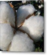 Cotton Pod Open Metal Print