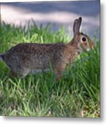 Cottontail Rabbit In My Front Yard Metal Print