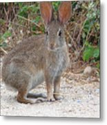 Cottontail Rabbit Surprised To Have Company Metal Print