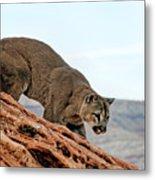 Cougar Prowling Metal Print