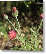 Coulter's Thistle Metal Print