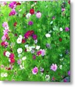 Country Cosmos Metal Print