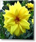 Country Dahlias Metal Print