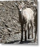 Couple Of Cuties- Baby Bighorn Metal Print