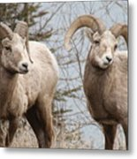 Couple Of Rams- Banff National Park Metal Print