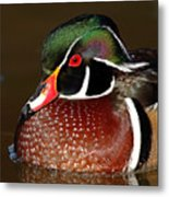 Courtship Colors Of A Wood Duck Drake Metal Print