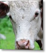 Cow 6856 Metal Print