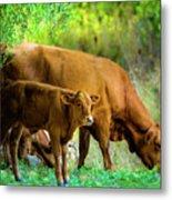 Cow And Calf Metal Print