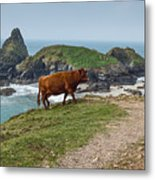 Cow At Kynance Cove Metal Print