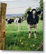 Cow Herd Metal Print