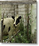 Cow In A Building Metal Print
