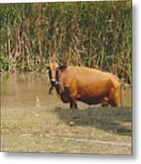 Cow In The Field Metal Print