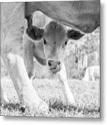Cow Milk Metal Print