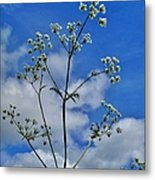 Cow Parsley Blossoms Metal Print