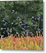Cowbirds In Flight Over Milo Fields In Shiloh National Military Park Metal Print