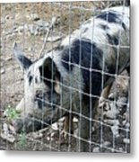 Cowpig On The Farm Metal Print