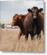 Cows In The Fall Pasture Metal Print