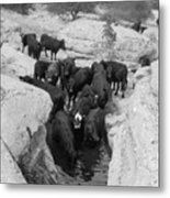 Cows In The Hole Metal Print
