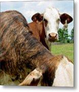 Cows8938 Metal Print