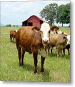 Cows8944 Metal Print