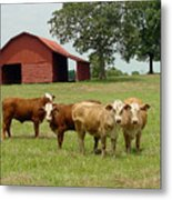 Cows8954 Metal Print