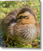 Coy Duckling Metal Print