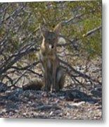 Coyote 3 Metal Print