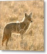 Coyote At Dawn Metal Print